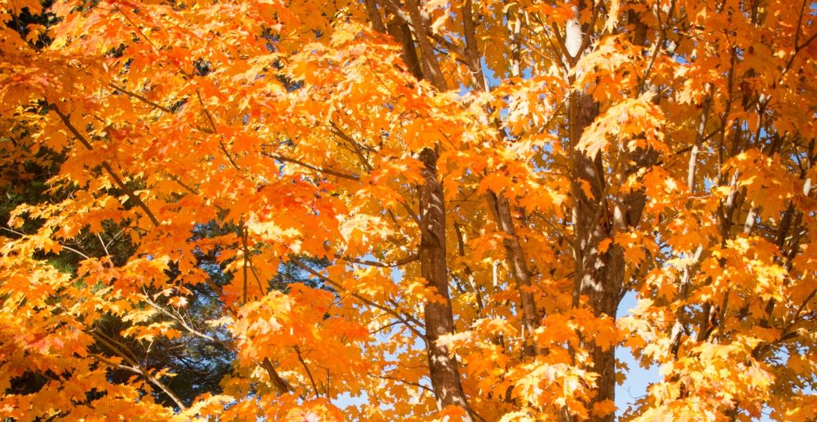 A photo of bright orange autumn maple leaves.